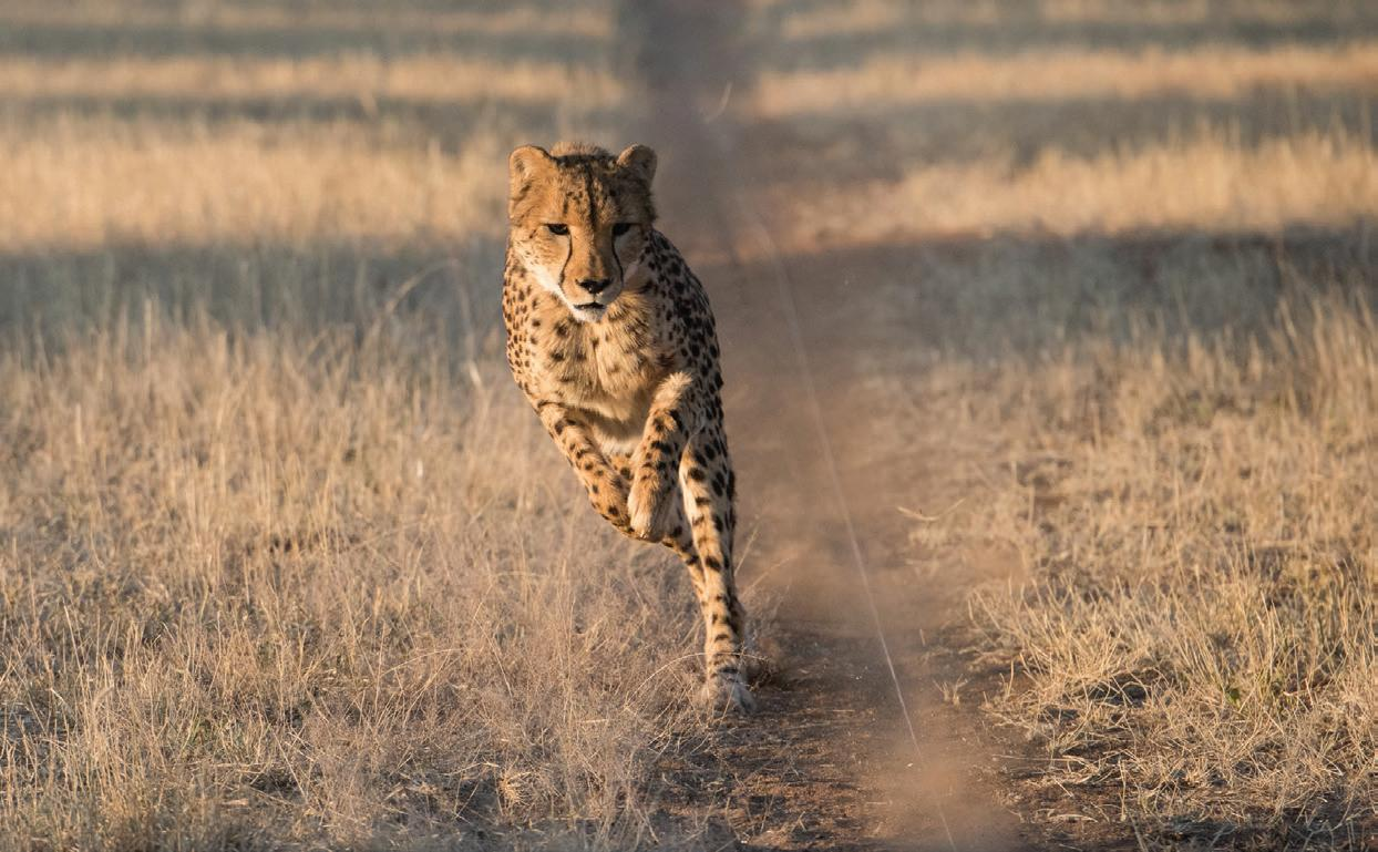 Page 22 of CONSERVATION Explore the Cheetah Conservation Fund