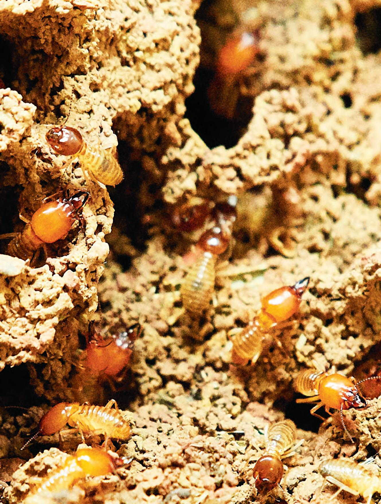 Page 60 of BREAKING THE MOULD FOR TERMITE CONTROL