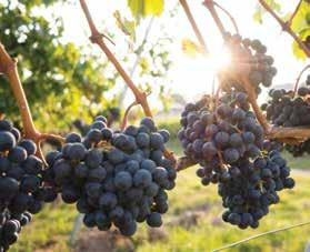 Page 32 of Switching grape varieties can help save world's wine-growing regions