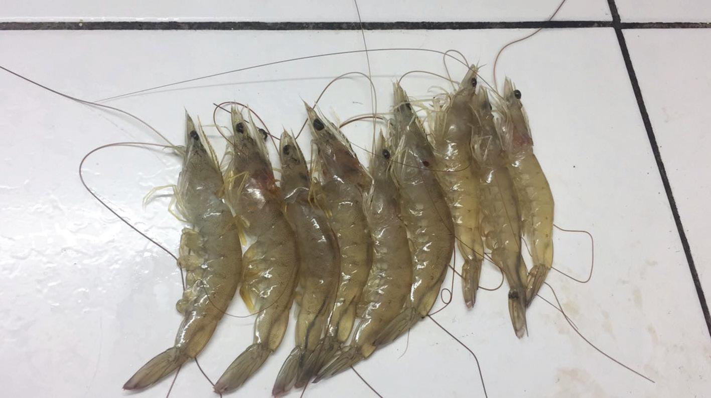 Page 48 of Dietary potassium-diformate affects growth performance and survival rates of vannamei-shrimp in hatchery and grow-out in worldwide aquaculture