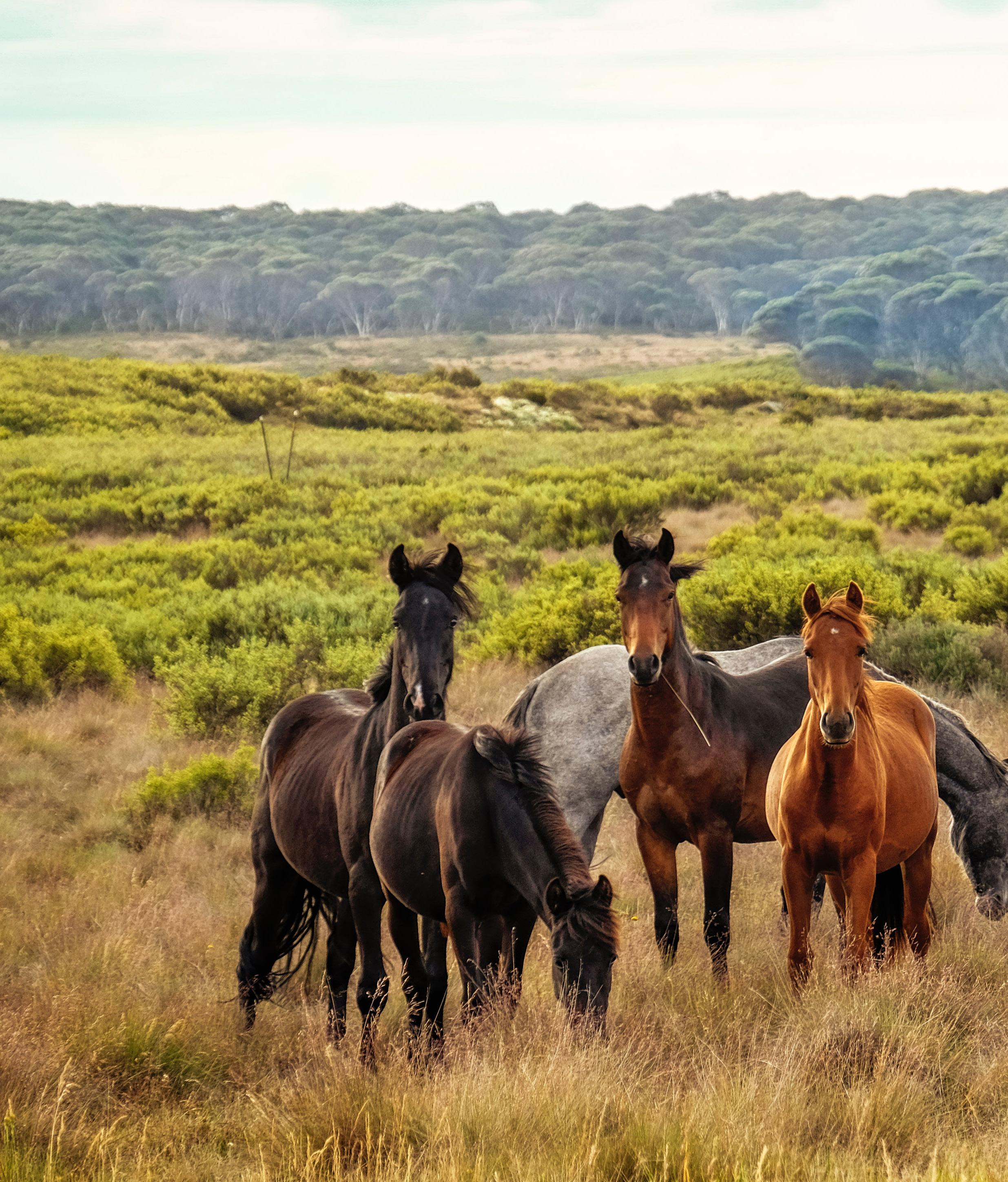 Page 26 of Australia's Brumby Horses