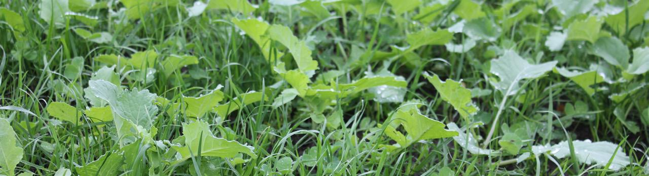 story from: Albert Lea Seed Cover Crop Newsletter - Summer 2020