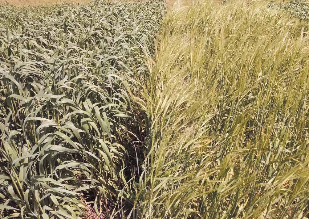 Page 50 of Silajes de cultivos de invierno. Un análisis de las ventajas de