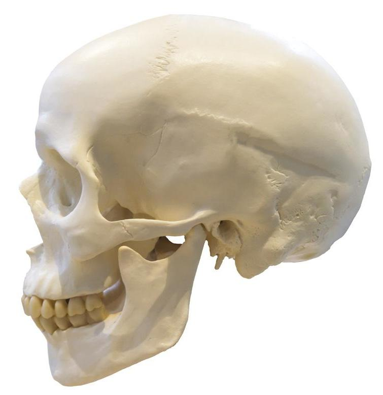 Page 26 of CPD: Exploring Bone Ageing