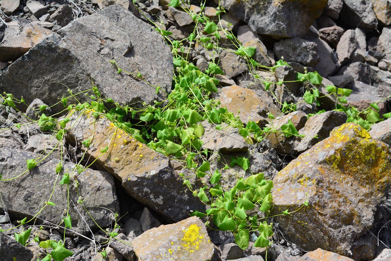 Page 24 of Suaeda foliosa, Tetragonia angustifolia, Tetragonia microcarpa, Tetragonia ovata