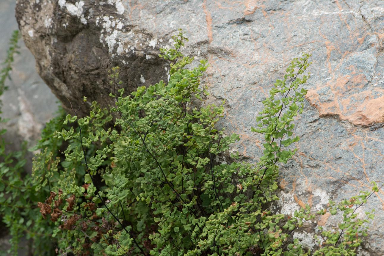 Page 4 of Adesmia eremophila, Adiantum chilense var. hirsutum, Alstroemeria violacea, Argylia radiata