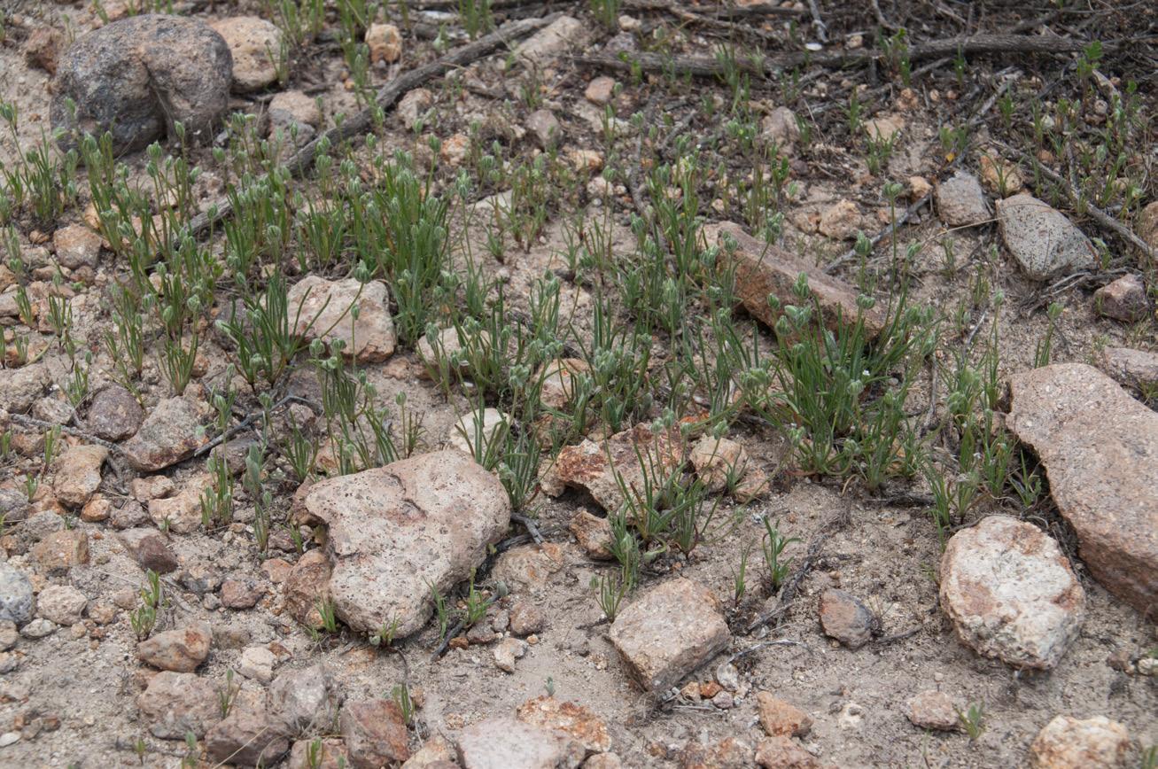 Page 22 of Presliophytum sessiliflorum, Pyrrhocactus reconditus, Quinchamalium chilense