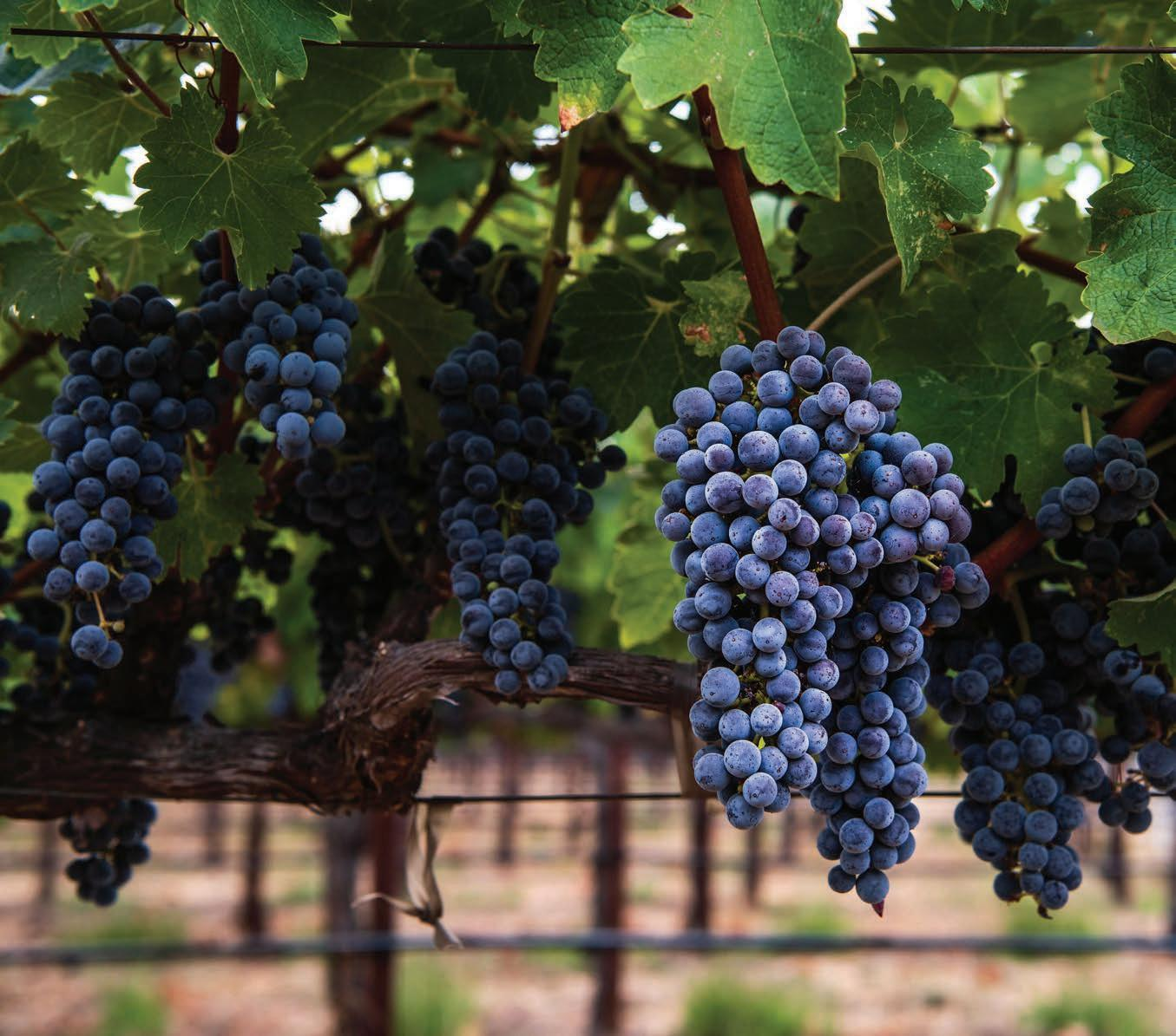 Page 60 of Napa Valley and Cabernet Sauvignon: A Perfect Match