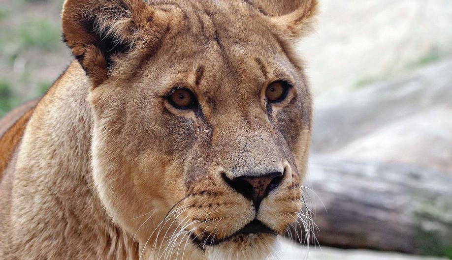 Page 36 of Colchester Zoo mourns the passing of beautiful Malika