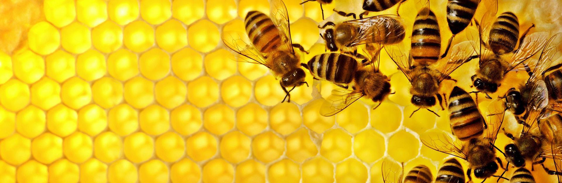 Page 8 of Pčele, vrsta pred istrebljenjem