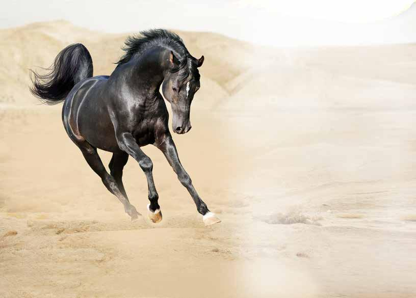 Page 20 of Common Beliefs About Arabian Horses Questioned