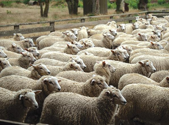 Page 59 of New tool helps commercial sheep farmers source best-fit genetics