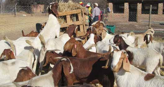 Page 20 of Goat farming in Zimbabwe