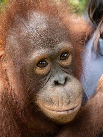 Page 26 of Notes from the field: Orangutan Foundation International's goals