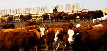 Page 10 of Beef Producers Make $2.9 Million Investment in Research and Technology Transfer r