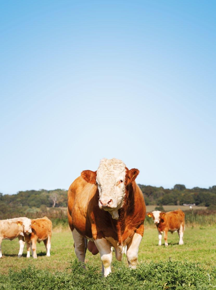 Page 54 of Theberton Herd Feature