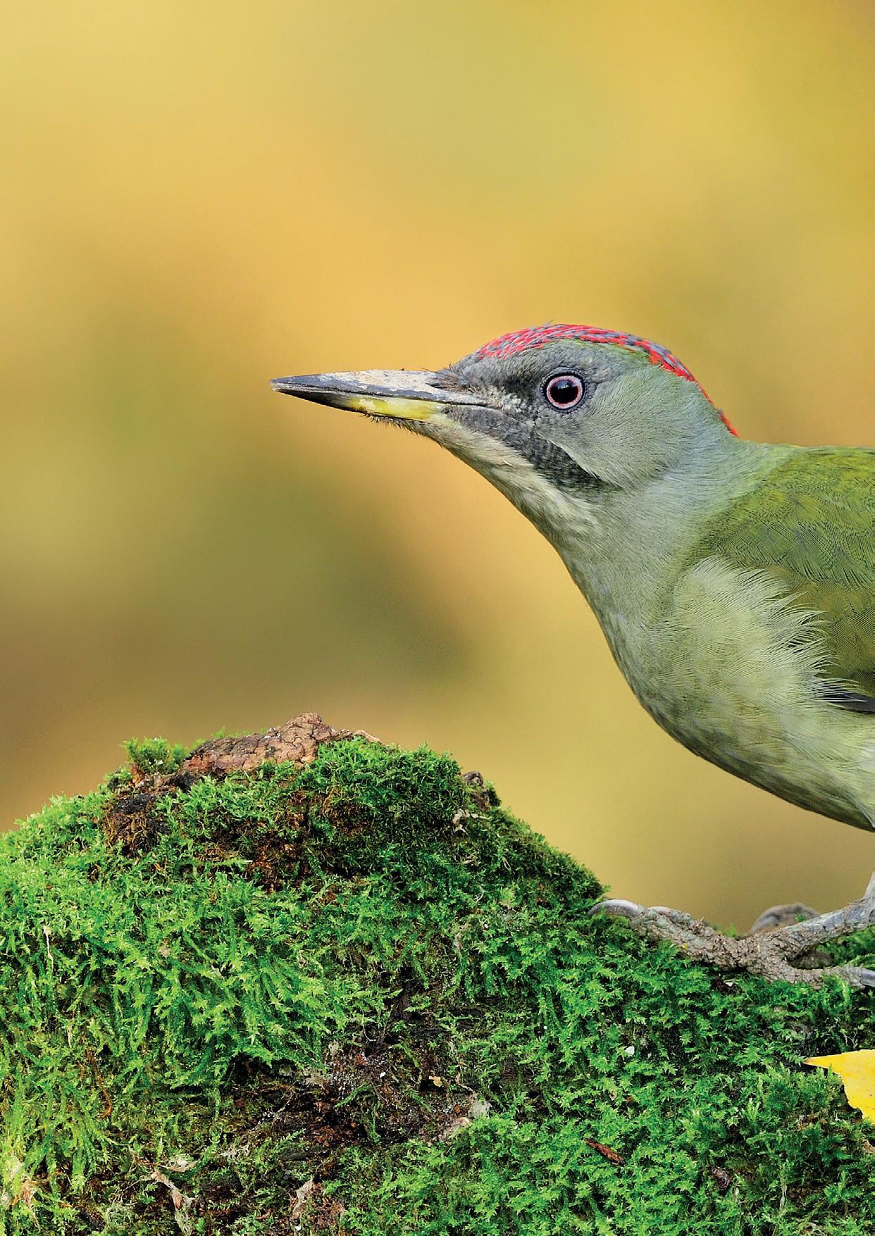 Page 12 of Aves forestales de primavera