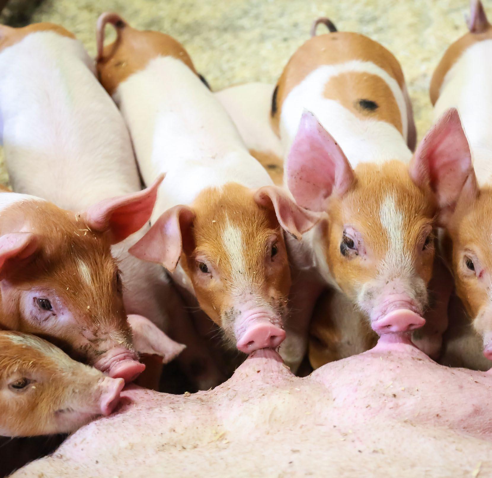 Page 36 of Utvikler morgensdagens svinefôr tidligere har sett, sier administrerende direktør i Felleskjøpet Fôrutvikling (FKF) som i slutten av januar avsluttet fôrforsøket på gris i samarbeid med Topigs Norsvin i forsøkshuset i Klepp i Rogaland