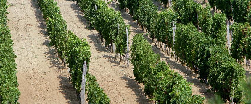 Page 20 of Svetla budućnost za lokalne, autohtone i novostvorene sorte vinove loze