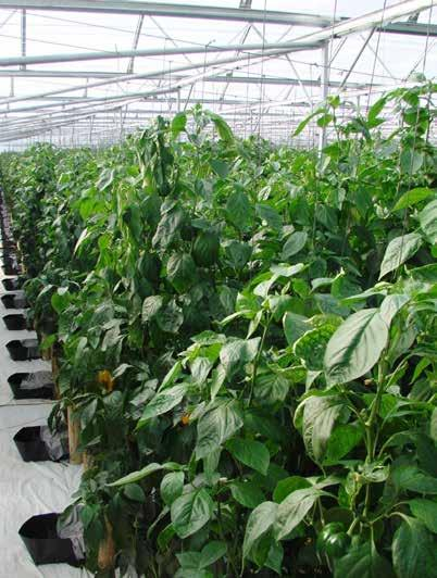Page 14 of IPM and plant hygiene in under protected cultivation reiterated