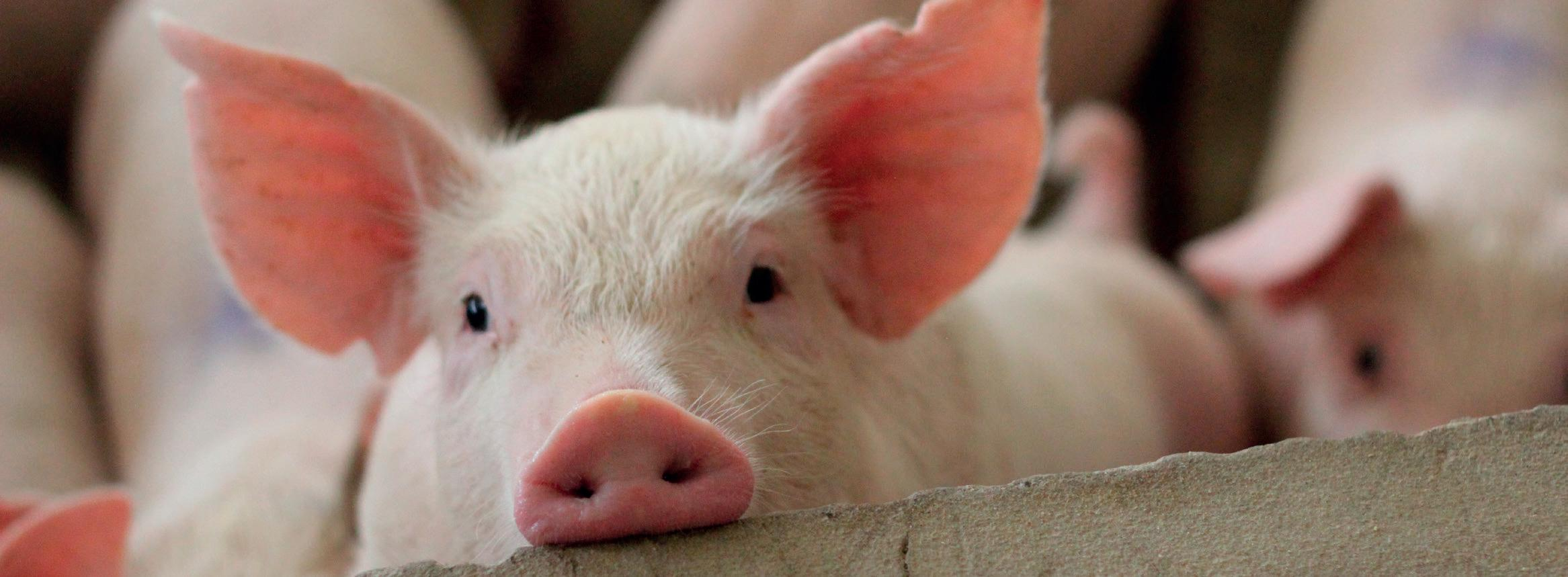 Page 4 of Pig farmers in call for support