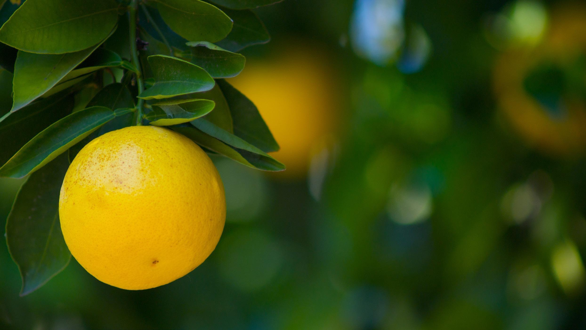 Page 38 of Grapefruit: Ernten und Exporte nehmen zu