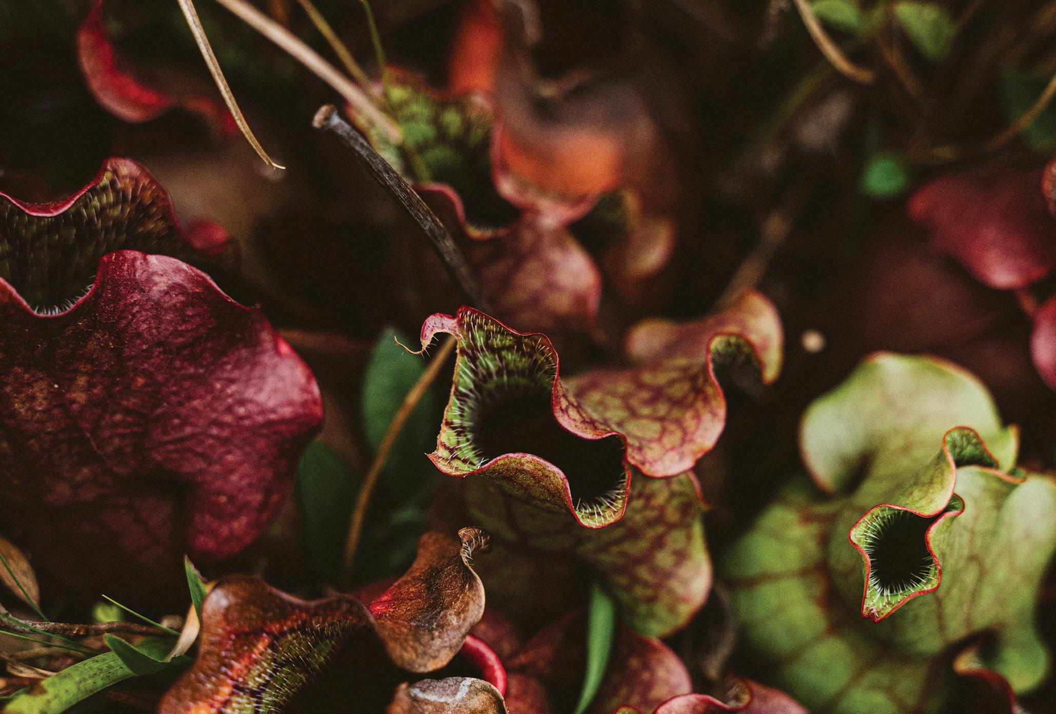 Page 16 of CARNIVOROUS PLANTS AT RISK OF EXTINCTION