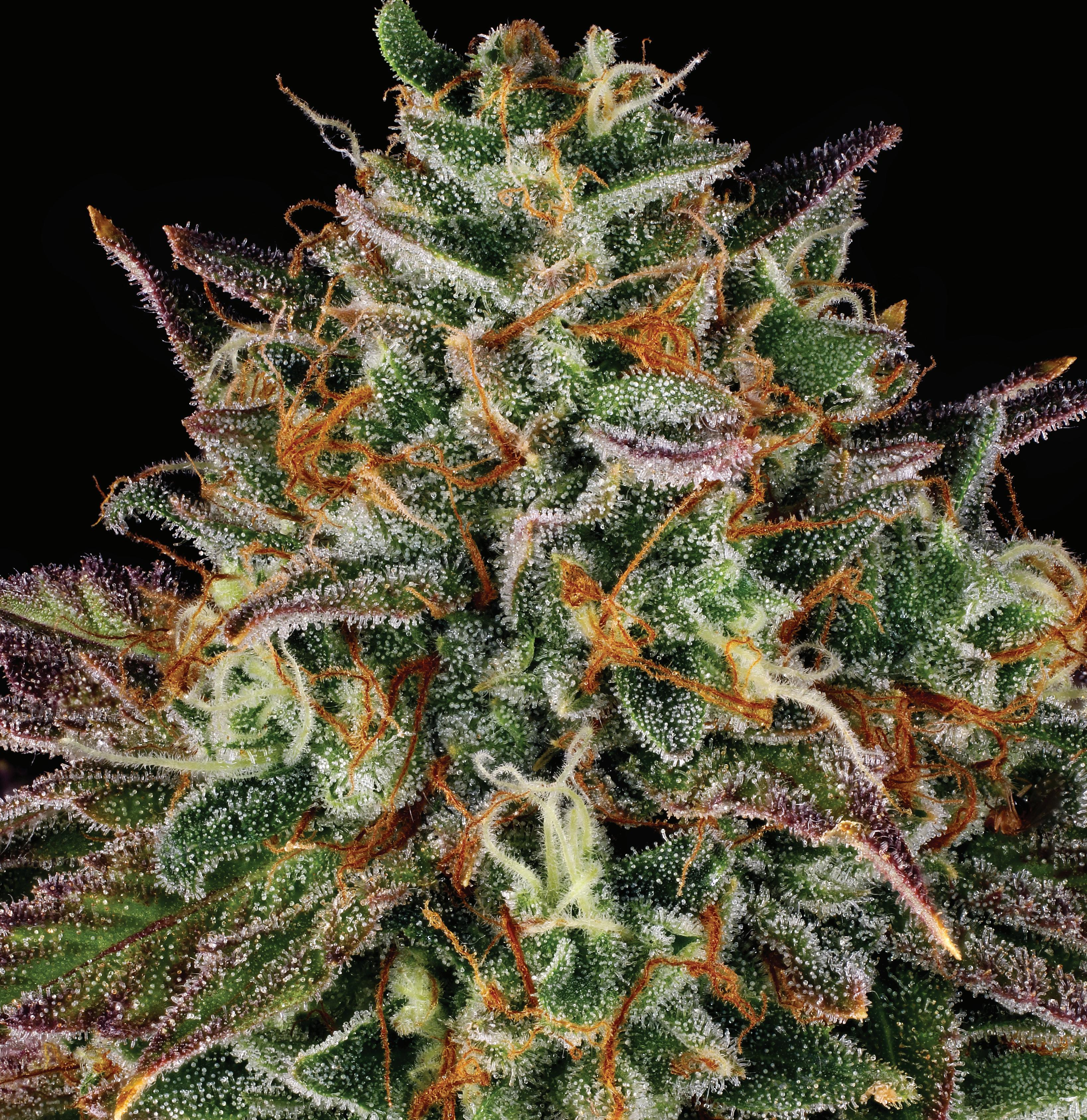 Page 38 of WEDDING CAKE Cherry Pie X Girl Scout Cookies X OG Kush
