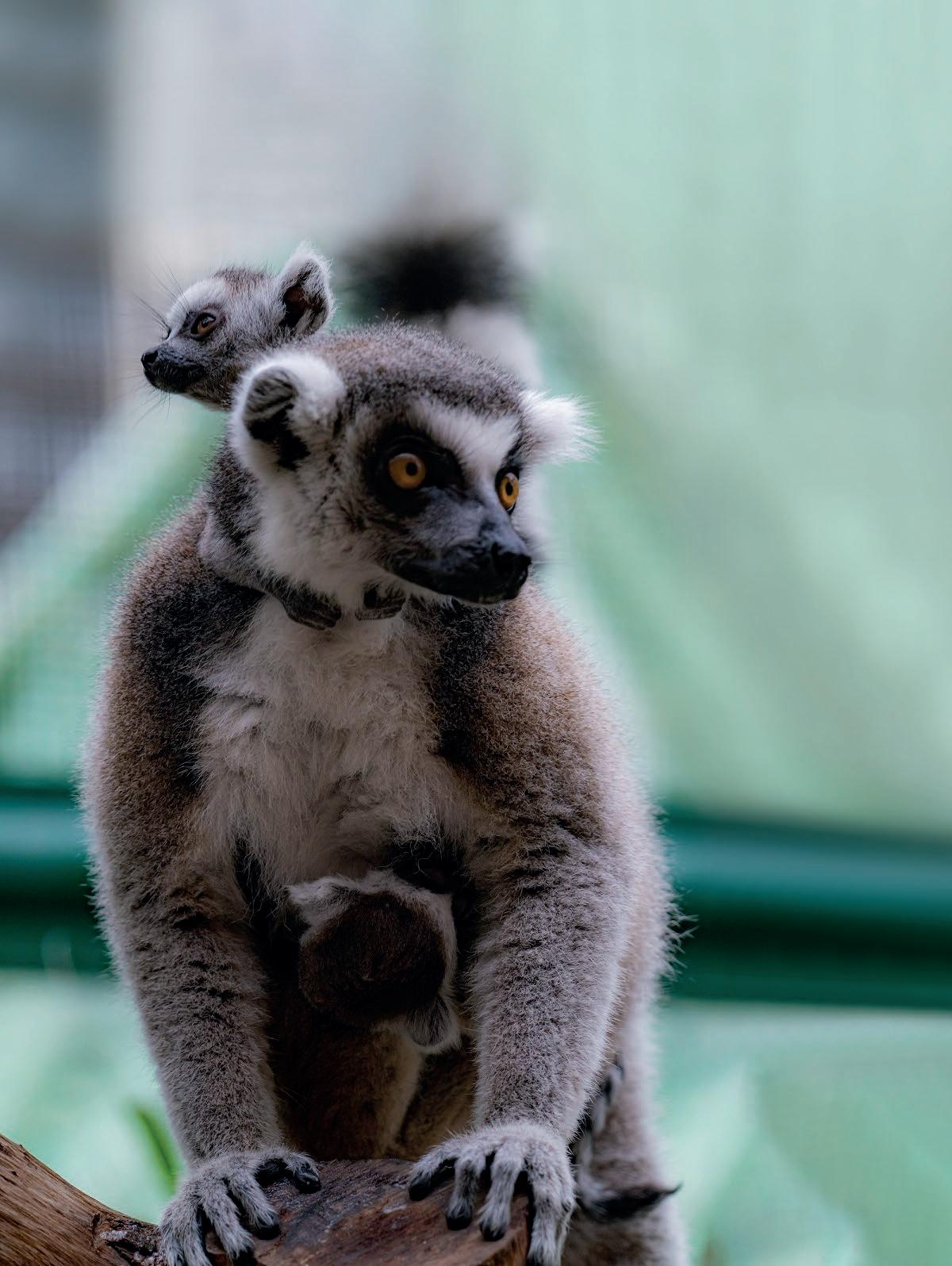 Page 38 of Ring-tailed lemur babies, welcome