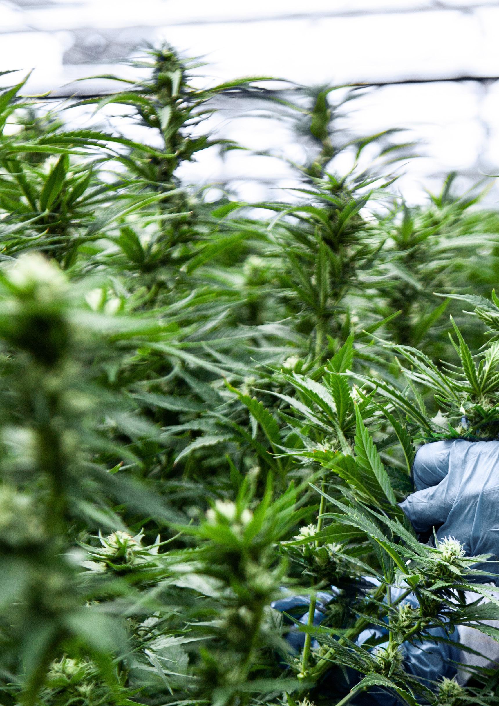 Page 66 of Medizinalcannabis - imc setzt auf Patientenwissen