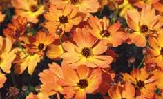 Page 33 of Coreopsis