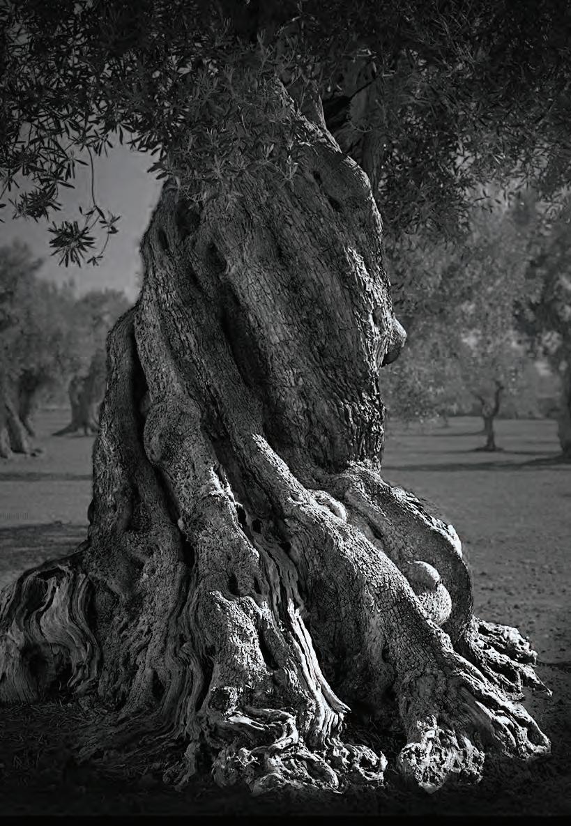 Page 62 of Pag Gli ulivi della Puglia