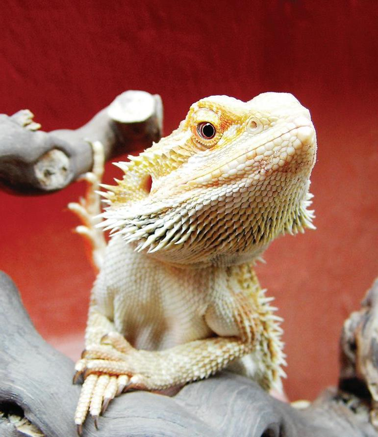 Page 30 of BEARDED DRAGONS
