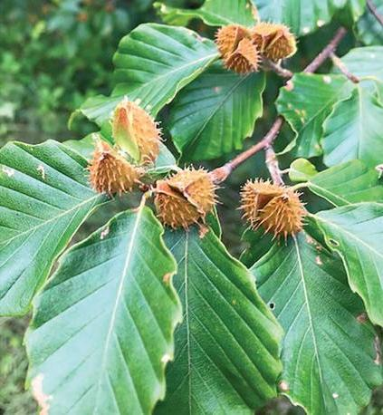 Page 58 of FIELD NOTES: American Beech