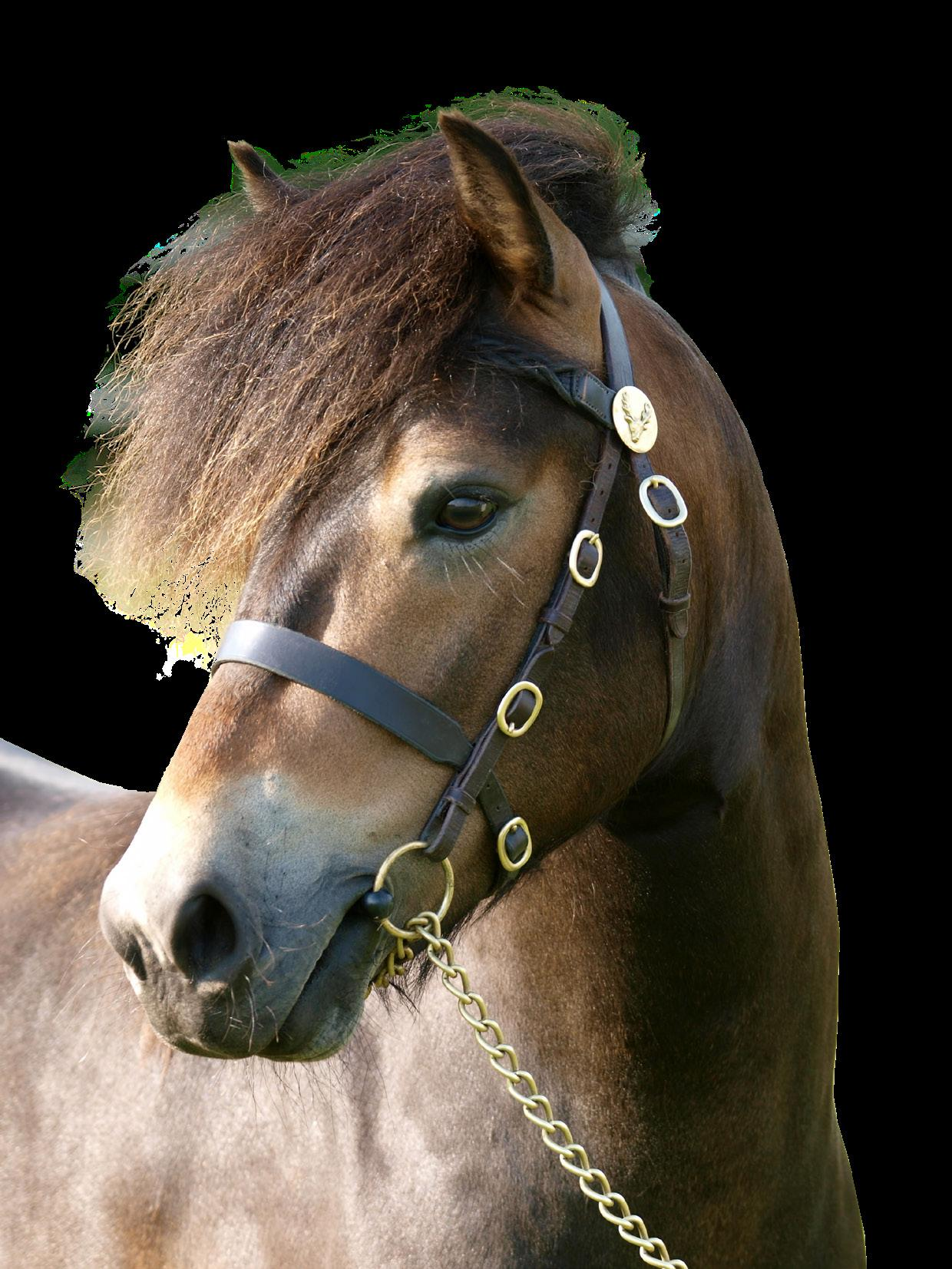 Page 16 of Horse and Pony Breeds: 4. The Exmoor Pony