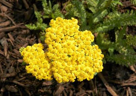 Page 68 of HEARTTHROB® ACHILLEA (pg