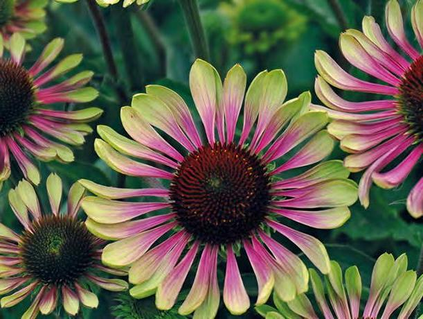 Page 80 of SUNSEEKERS SALMON® ECHINACEA (pg