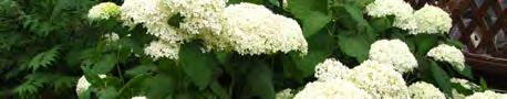 Page 32 of LIME RICKEY HYDRANGEA (pg