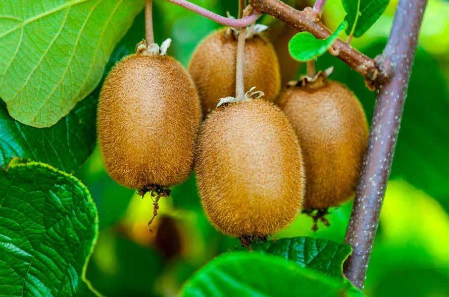 Page 36 of Características físico-químicas y funcionales de la fruta kiwi en una zona tropical de altura en México.