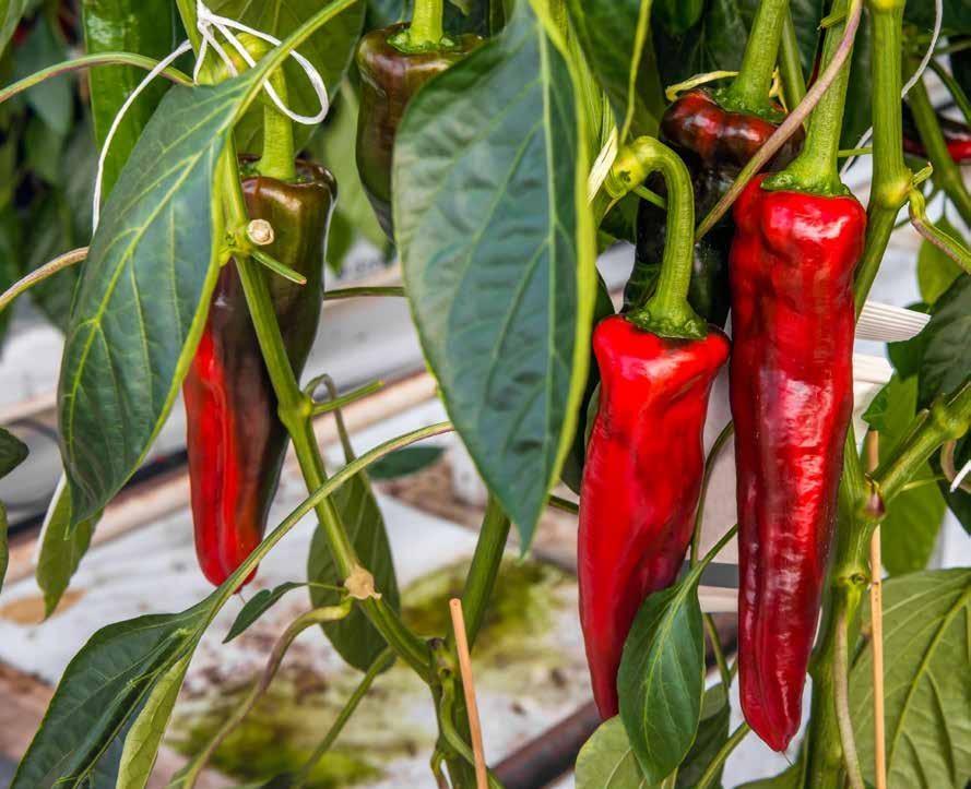 Page 86 of Fenología y contenido de capsaicinoides en chile producidos en condiciones de invernadero.
